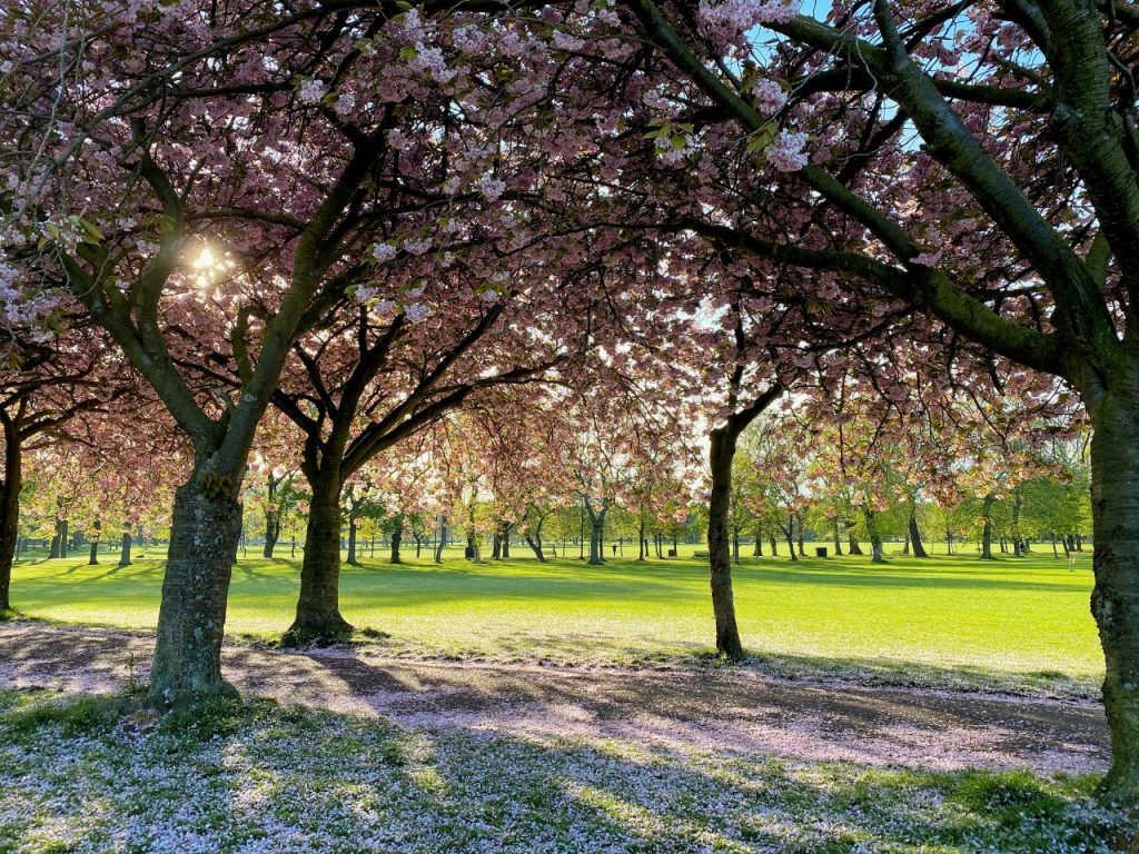 Gli splendidi alberi in fiore tra i prati dei Meadows, i prati di Edimburgo