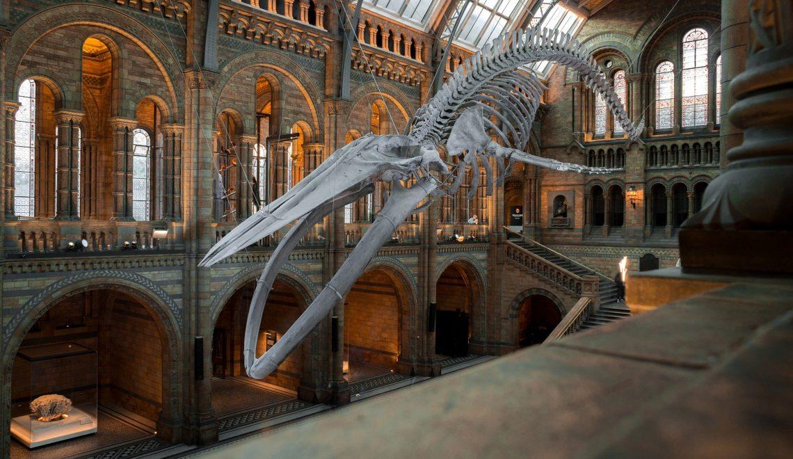 Il famoso scheletro della balena appeso nel salone principale del British Museum a Londra.