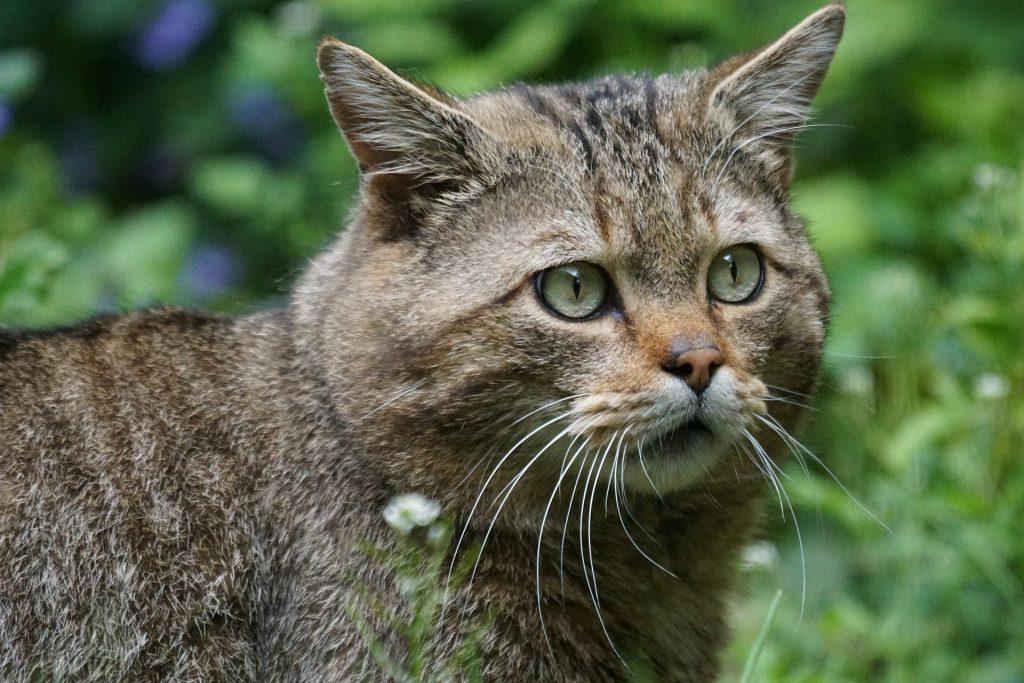 Un esemplare di gatto selvatico nella natura.